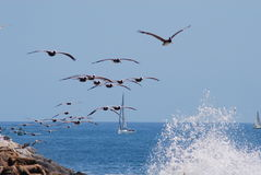 Pelican flock royalty free stock photography