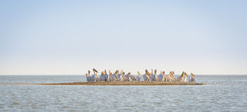 Pelican Flock Royalty Free Stock Photo