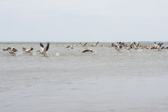 Pelican flock. A pelican flock taking off Royalty Free Stock Photos