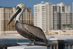 Pelican in Florida. Royalty Free Stock Images