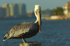 Pelican in florida Stock Image