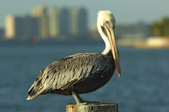 Pelican in florida Stock Photo