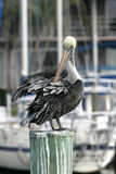 Pelican in Florida Royalty Free Stock Images