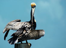 Pelican in the Florida Keys (Pelecanus; occidental. Pelican perched on a wooden pole in the Florida Keys (Pelecanus; occidentalis Stock Images