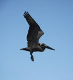 Pelican flying. In blue sky of St thomas Stock Photography