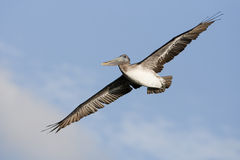 Free Pelican Flying Stock Images - 13458124
