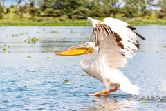 The Pelican is Flying Stock Photography