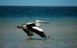 Pelican flying Royalty Free Stock Photos