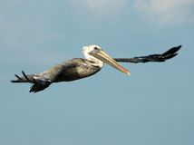Free Pelican Flying Royalty Free Stock Photos - 8300548