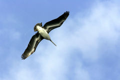 Pelican flying above me. Pelican caught in fishing line trying to escape and become untangled Royalty Free Stock Photos