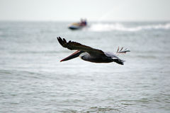 Pelican flying above ocean racing a jet ski Royalty Free Stock Photo