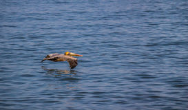 Pelican Flying Above Water Stock Images