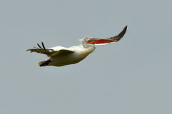 Pelican flying against the blue sky. (pelecanus onocrotalus Stock Photo