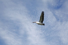 Pelican Flying against cloudy sky Royalty Free Stock Image