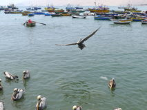 A pelican flying alone in Ancon waters, north of Lima Stock Photo