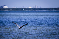 Pelican Flying Away Stock Image