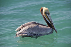 Pelican while flying Royalty Free Stock Images