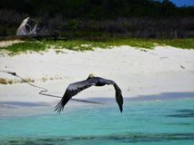 Pelican flying in the caribbean sea stock image