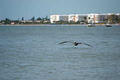 Pelican flying close to ocean Stock Photo