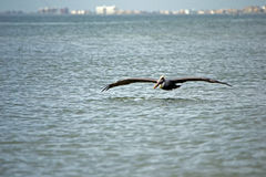 Pelican flying close to ocean Royalty Free Stock Photography
