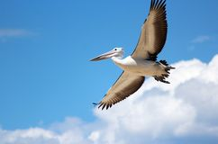 Pelican Flying in a cloudy sky. Stock Image