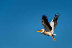Pelican flying Stock Photography