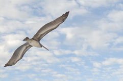 Pelican Flying In Sky Royalty Free Stock Photos