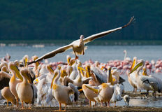Pelican flying low over the lake. Lake Nakuru. Kenya. Africa. Stock Photo