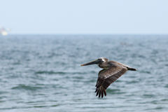 Pelican flying low over the ocean Royalty Free Stock Images