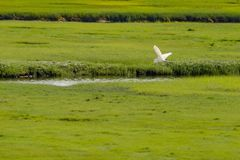 Pelican flying over a small river in a large green beautiful field stock images
