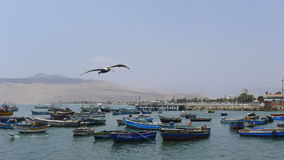 Pelican flying at mid air in Ancon, Lima Stock Image