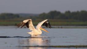 Pelican in flying Stock Image