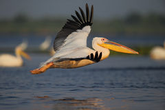 Pelican in flying royalty free stock photo