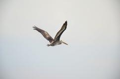 Pelican flying in natural habitat, in Paracas, Peru Royalty Free Stock Photo