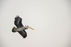 Pelican flying in natural habitat, in Paracas, Peru Royalty Free Stock Images