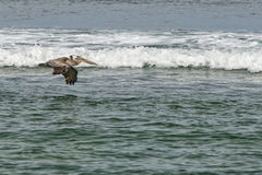 Pelican while flying near surfers on california beach Royalty Free Stock Photo
