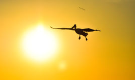 Pelican flying with open wings at sunset sky, silhouette. Stock Images