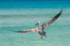 Pelican. Flying over atlantic ocean in Dominican Republic Royalty Free Stock Photography