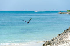 Pelican flying over the Beach in Aruba Island Royalty Free Stock Image