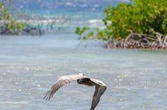 Pelican flying over the Beach in Aruba Island Stock Image