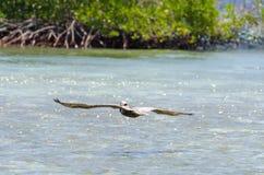 Pelican flying over the Beach in Aruba Island Royalty Free Stock Photos