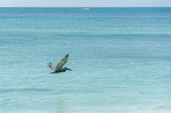 Pelican flying over the Beach in Aruba Island Royalty Free Stock Photography