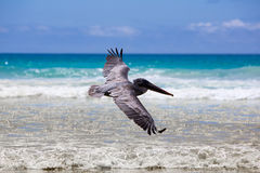 Pelican flying over the beach in Galapagos Royalty Free Stock Image