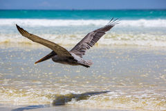 Pelican flying over the beach in Galapagos Royalty Free Stock Photo
