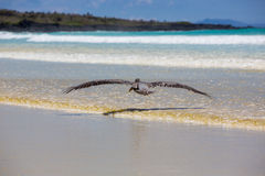 Pelican flying over the beach in Galapagos Stock Photography