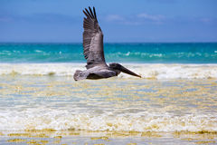 Pelican flying over the beach in Galapagos Royalty Free Stock Photos