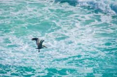Pelican flying over the cariibean sea of Mexico royalty free stock photography