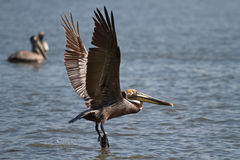 Pelican Flying Over the James River Stock Photography