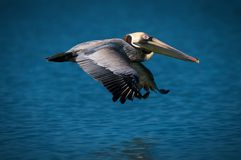 Pelican flying over ocean Stock Photography