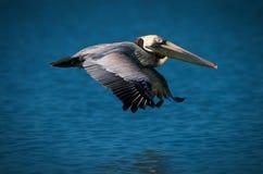 Pelican flying over ocean. Side view of pelican flying over ocean Stock Photography